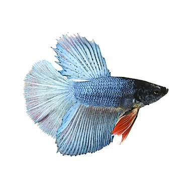 Male Deltatail Betta