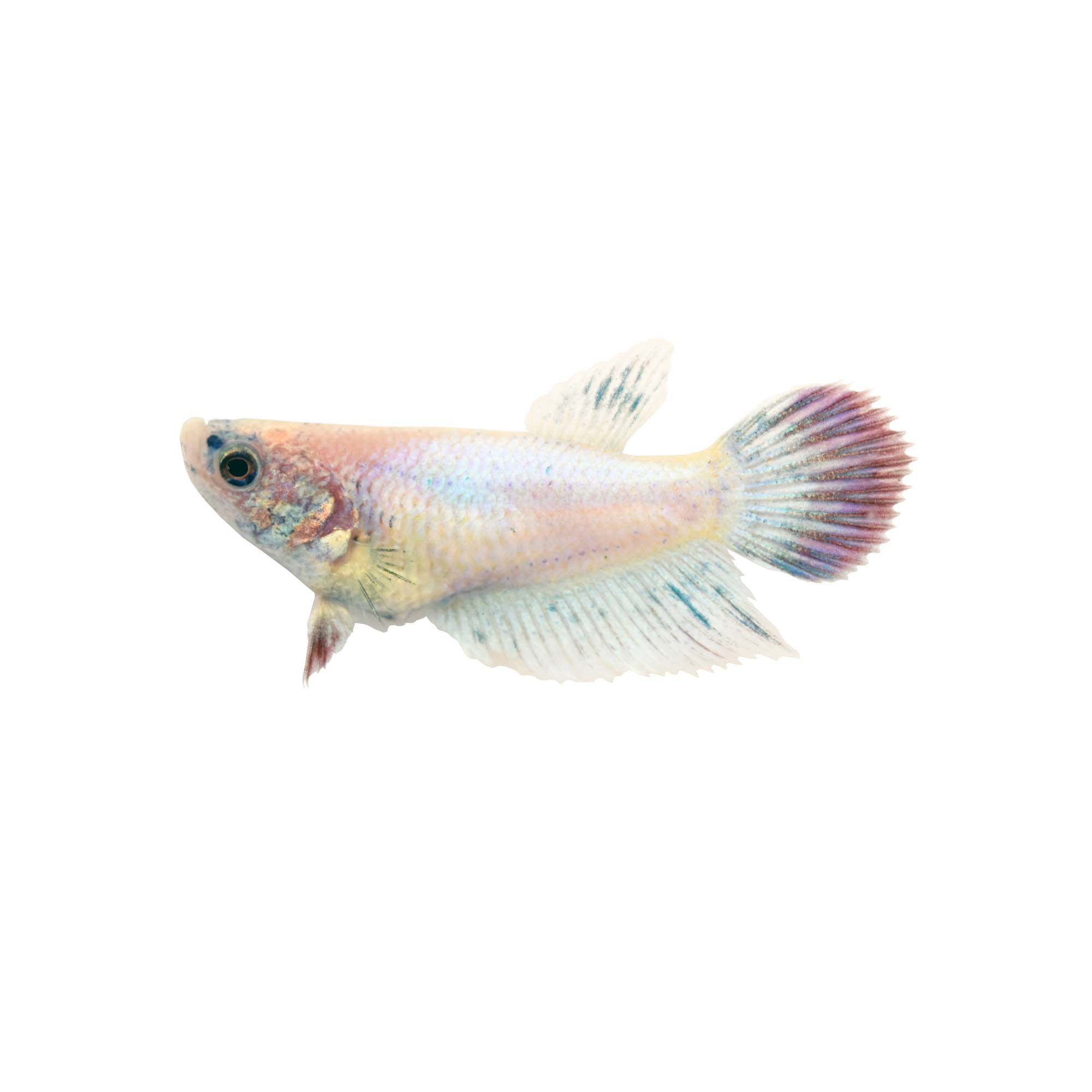 female veiltail betta fish siamese fighting fish extra