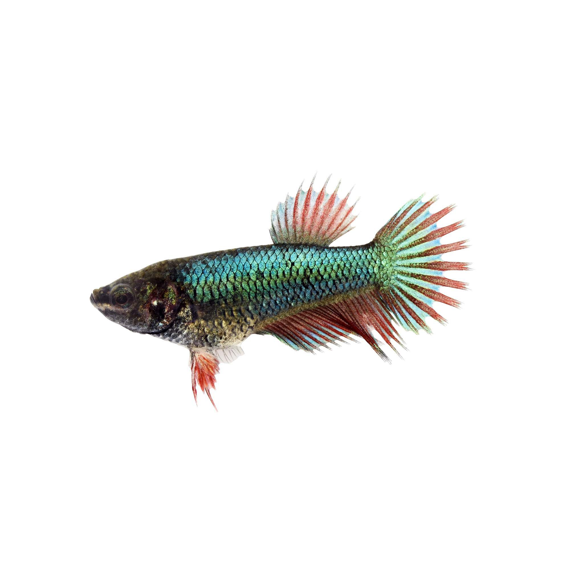 Female Crowntail Betta Fish Siamese Fighting Fish