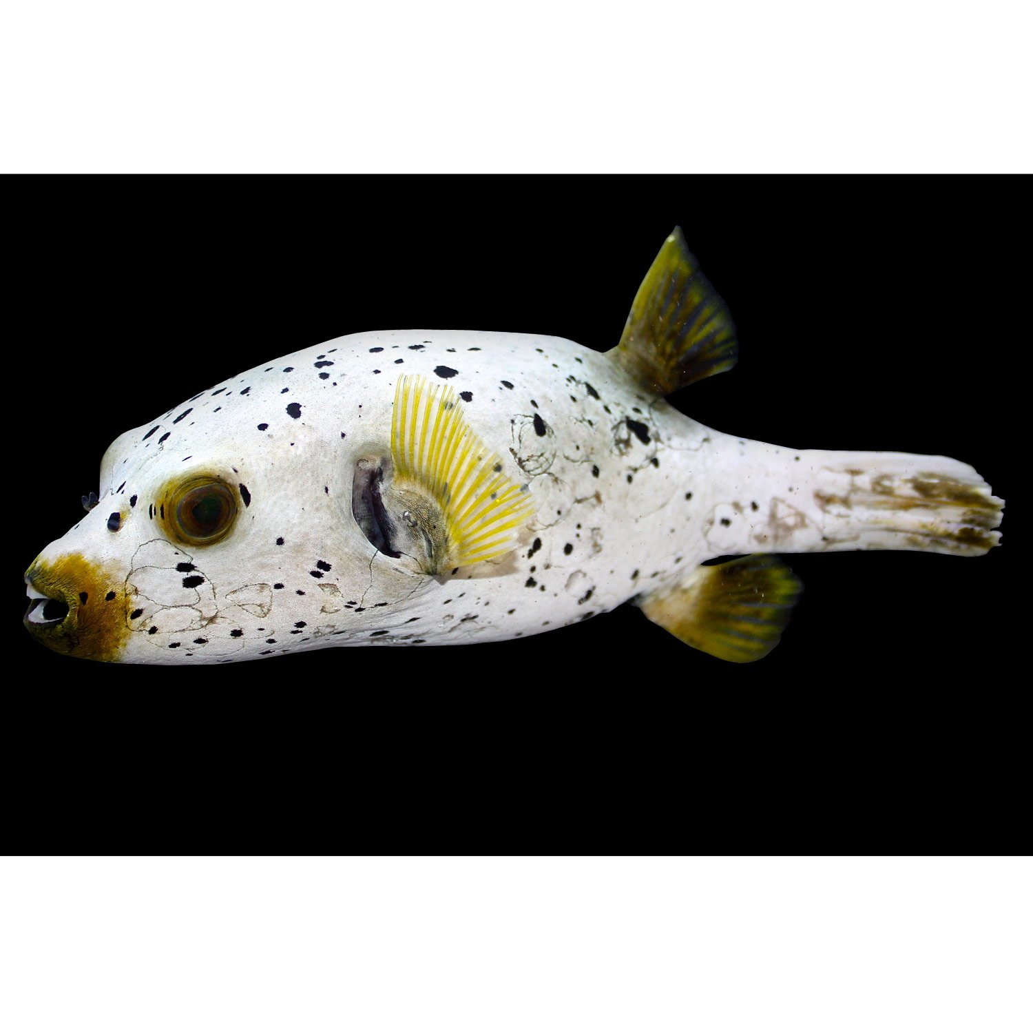 Dog Face Puffer Petco