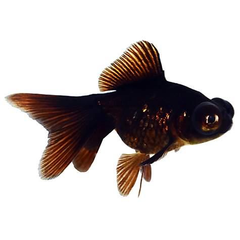 black moor goldfish petco