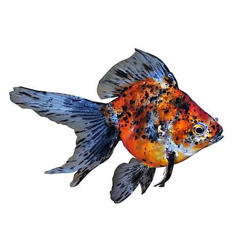 Calico Ryukin Goldfish Extra Small Carassius Auratus
