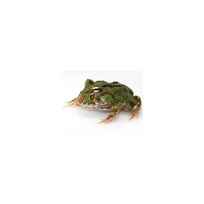 Pacman Frog Petco