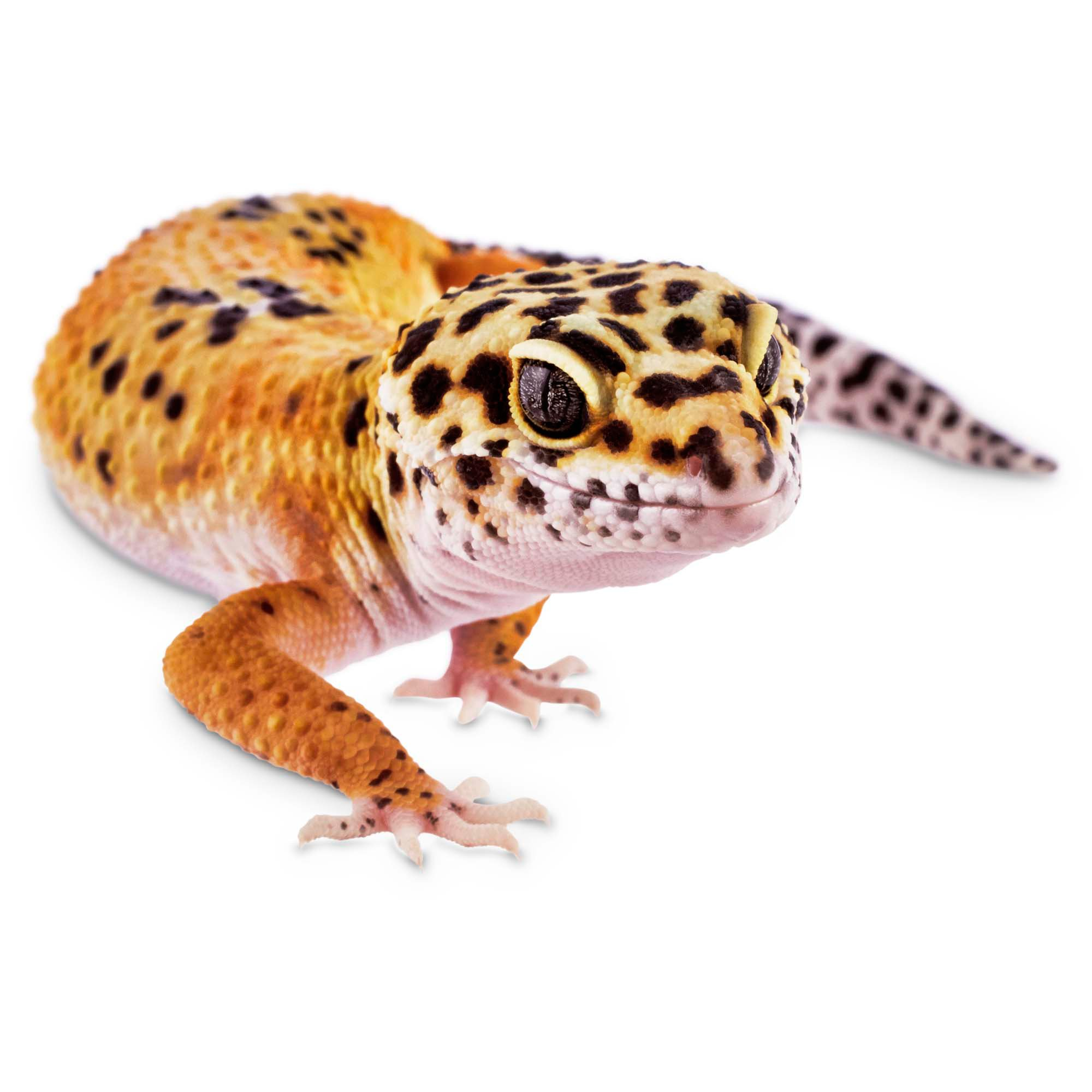 Leopard Geckos for Sale | Buy Pet Leopard Geckos | Petco