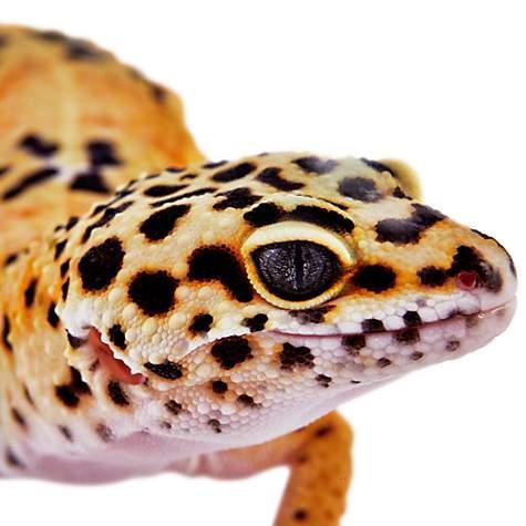 Leopard Geckos for Sale | Buy Pet Leopard Geckos | Petco