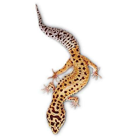 leopard geckos for sale buy pet leopard geckos petco