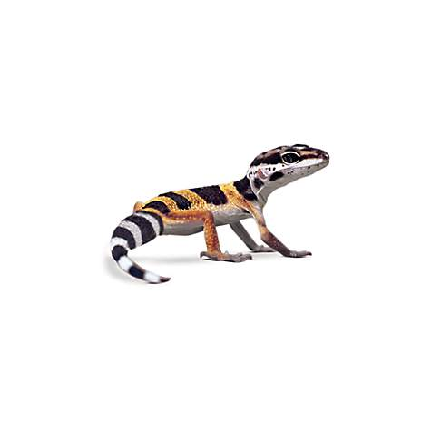 leopard geckos for sale buy pet leopard geckos petco. Black Bedroom Furniture Sets. Home Design Ideas
