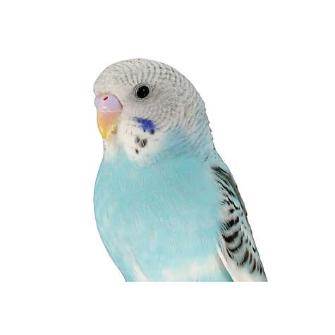 Blue Parakeet (Melopsittacus undulatus)   Petco