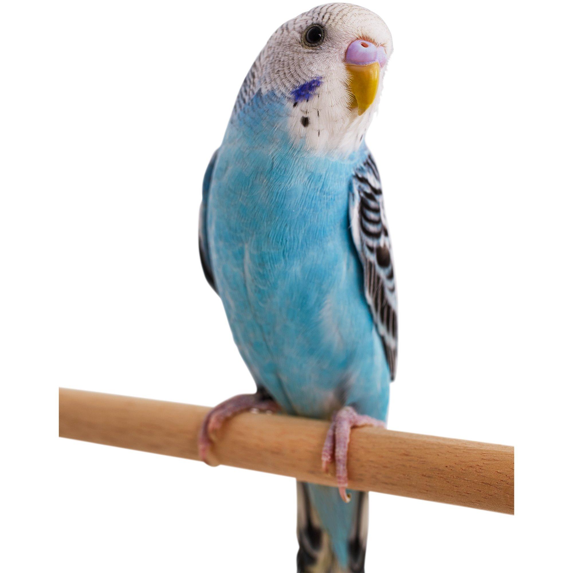 blue parakeet petco
