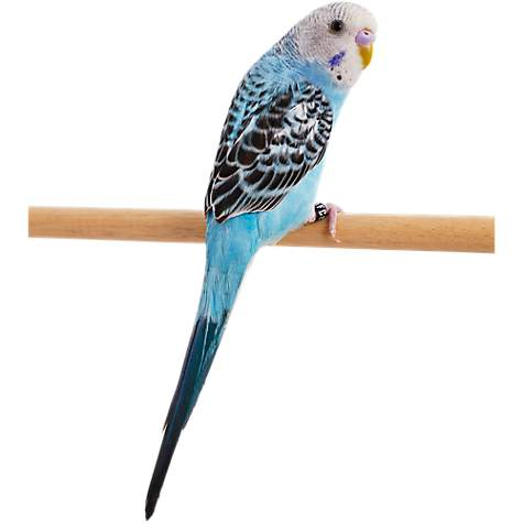 Blue Parakeet (Melopsittacus undulatus) | Petco