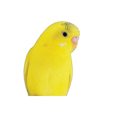 Parakeets for Sale | Buy Fancy Rare Parakeets/Budgies for