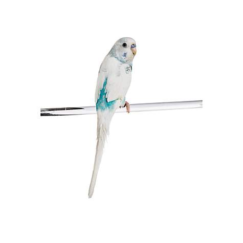 Parakeets for Sale | Buy Fancy Rare Parakeets/Budgies for Sale | Petco