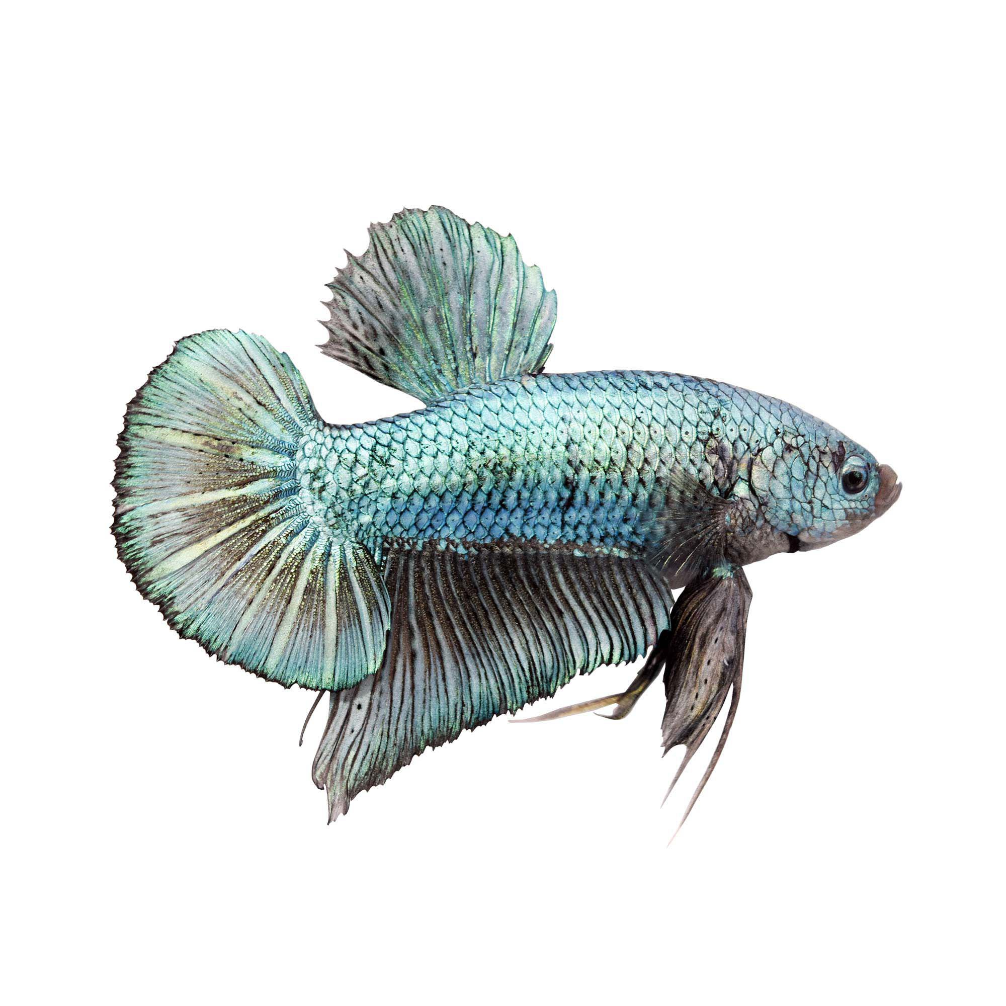 Male Halfmoon Plakat Betta Fish Petco
