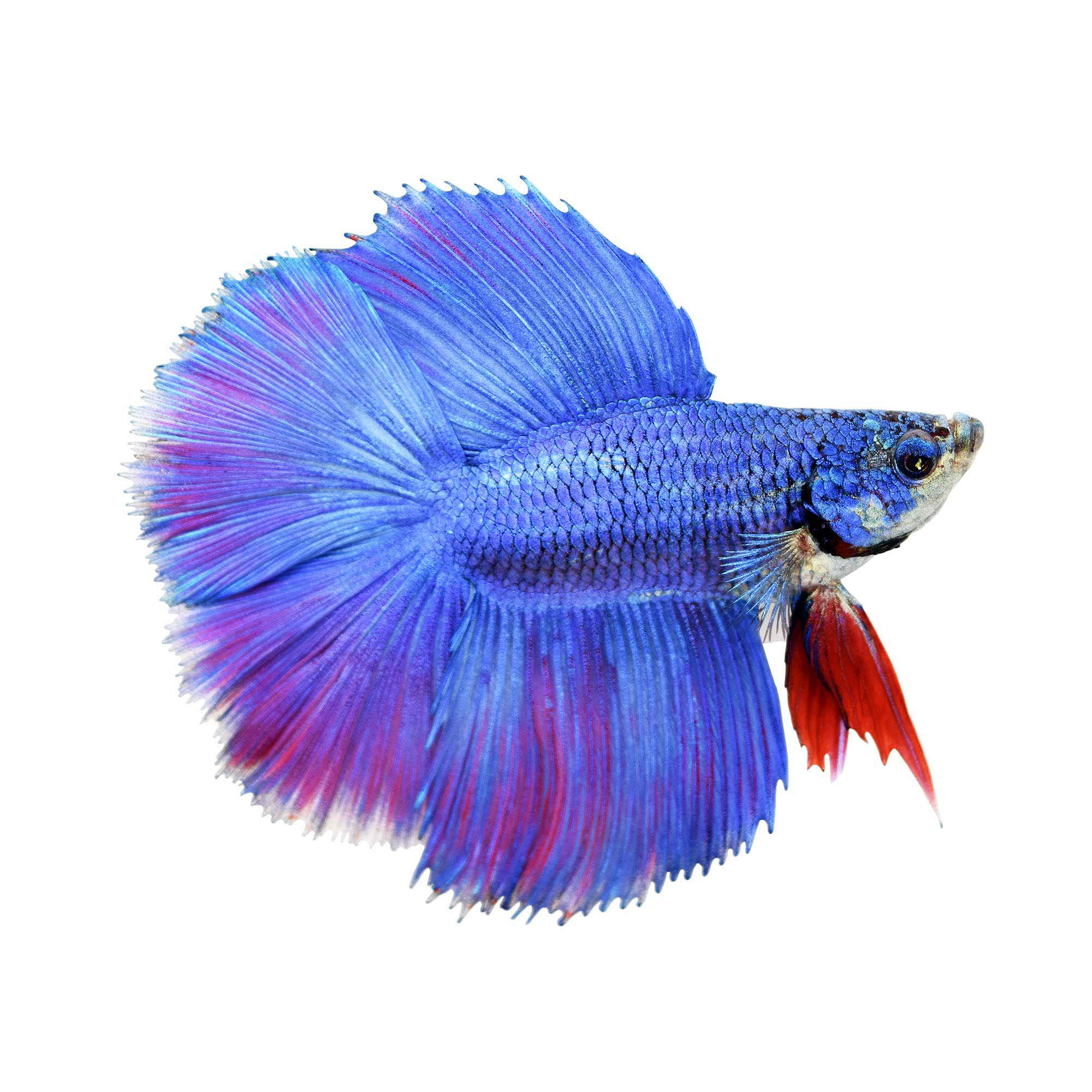Male halfmoon doubletail betta petco for Betta fish tanks petco