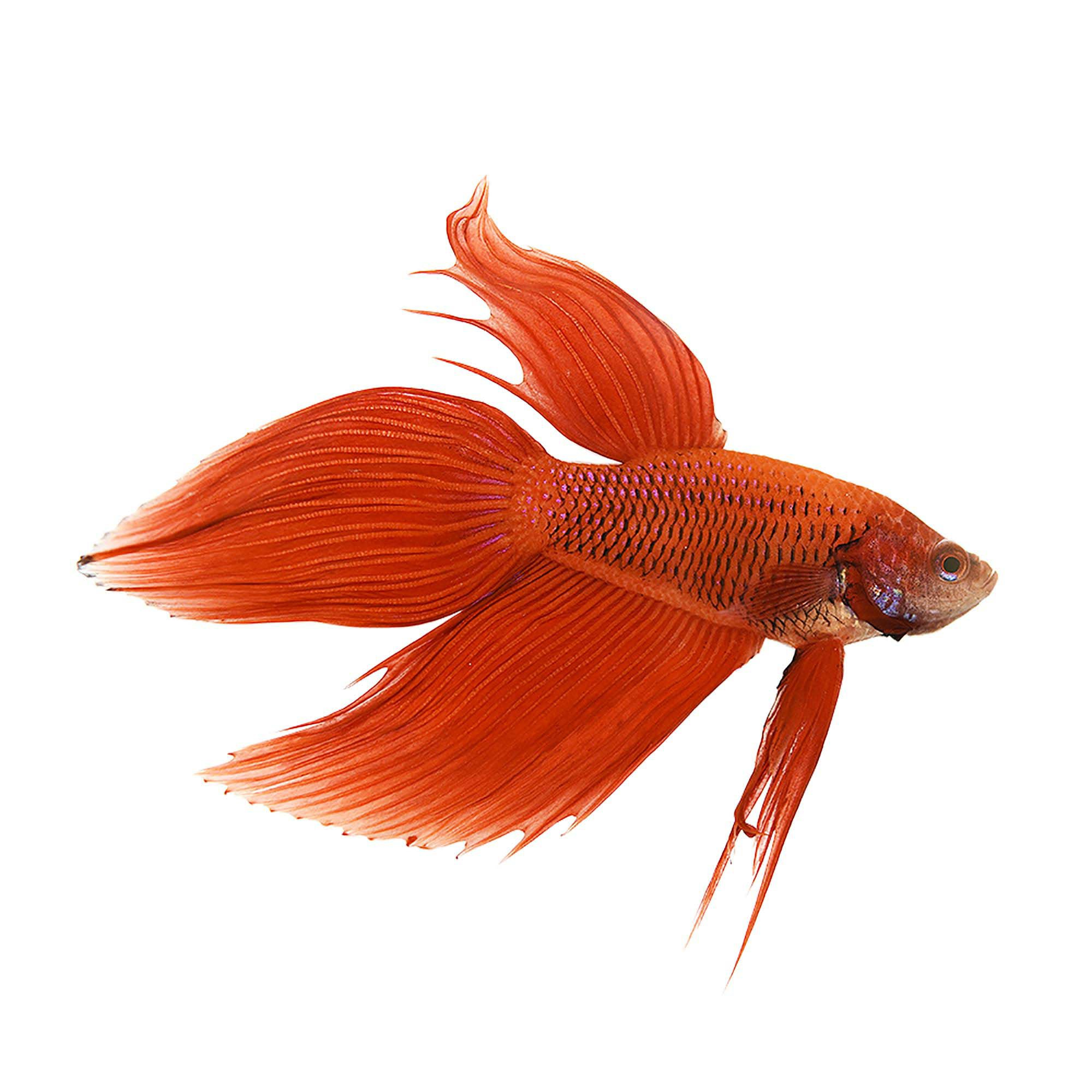 Red male veiltail betta petco for Betta fish petco