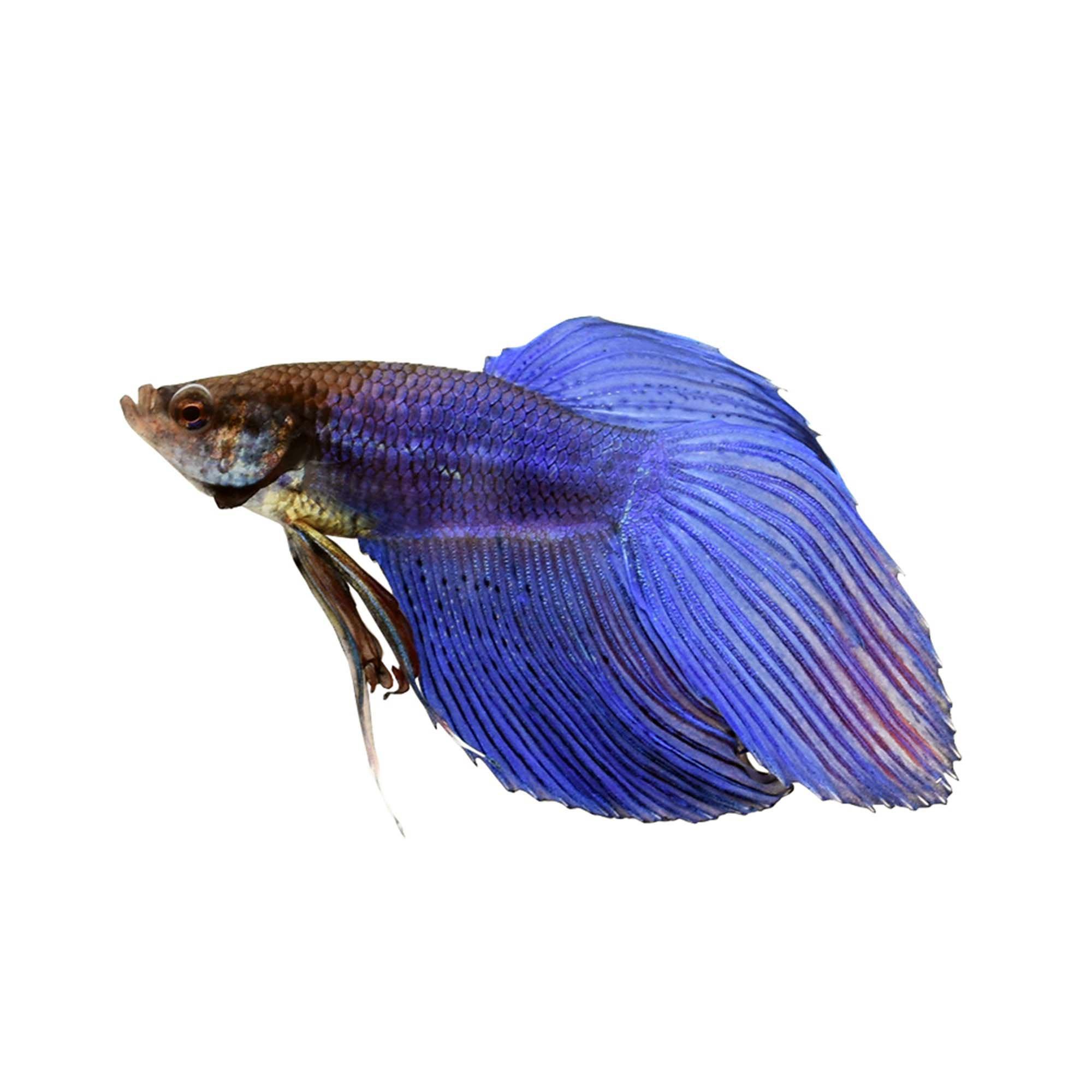 blue male veiltail betta petco