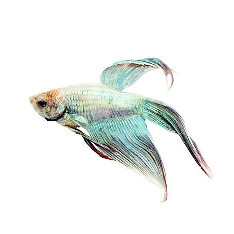 Male cambodian veiltail betta petco for Types of betta fish petco