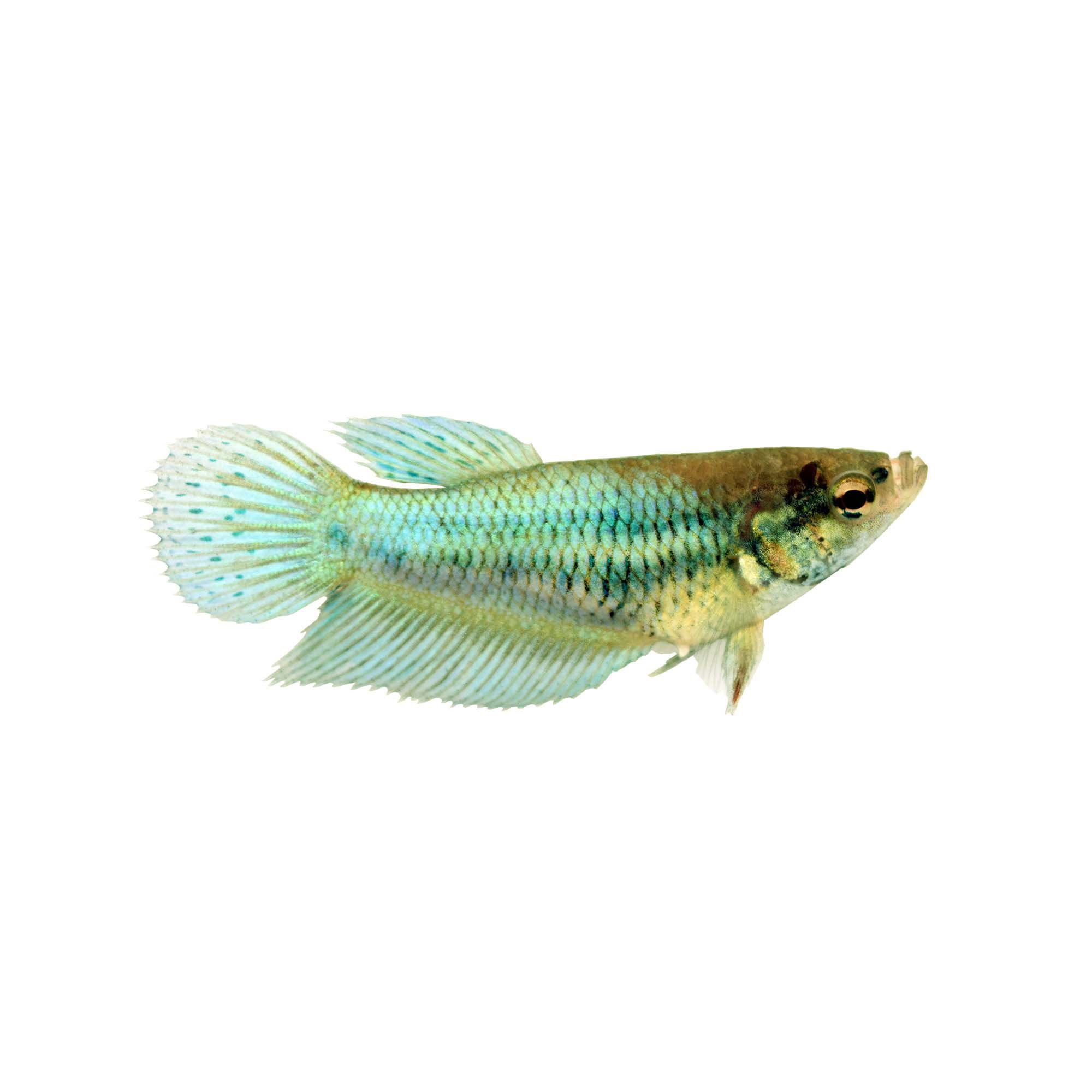 Green Female Veiltail Betta Fish Petco