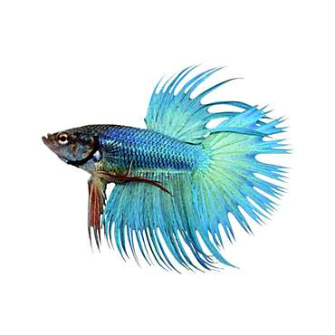 Green Male Crowntail Betta