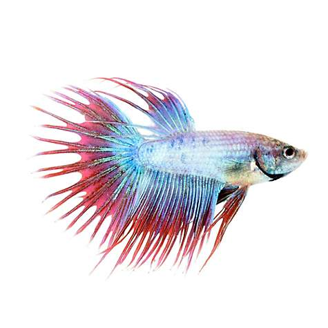 Male cambodian crowntail betta petco for Types of betta fish petco