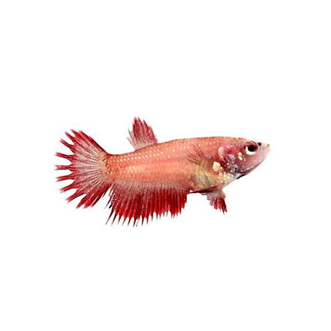 Red Female Crowntail Betta