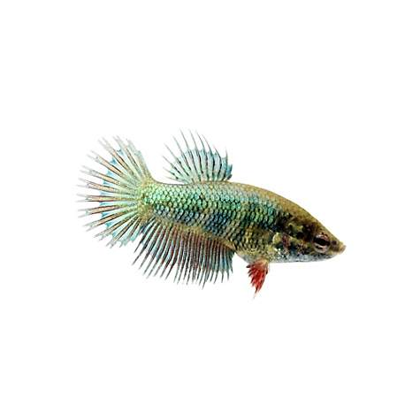 Green female crowntail betta fish petco for Petco live fish