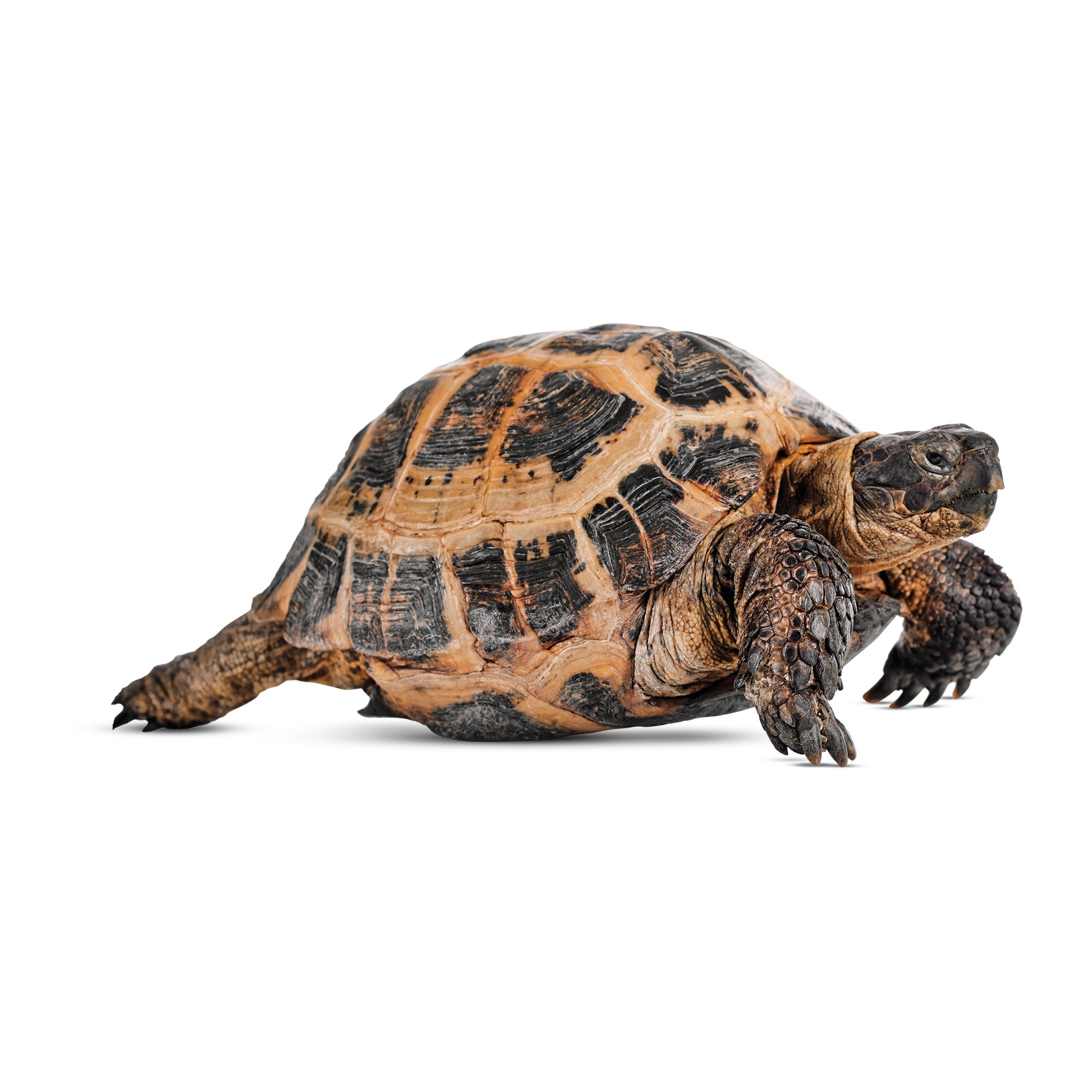 tortoise my pet I can no longer care for my pet turtle welcome to the turtle rescue league what is the turtle rescue league we are a non-profit organization based in new england, with a dedicated staff and members from all across the usa, committed to helping turtles.