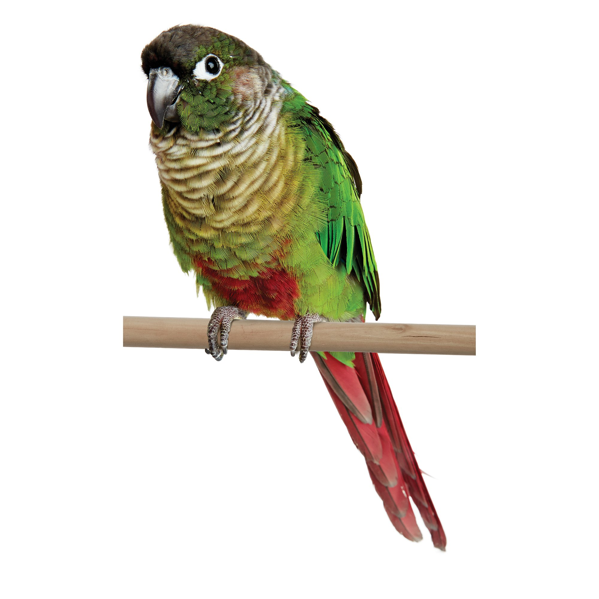 Conures for Sale | Green Cheek Conure Birds for Sale | Petco