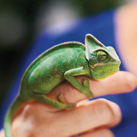 Veiled Chameleon | Petco
