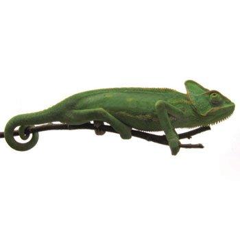 Veiled Chameleon Petco