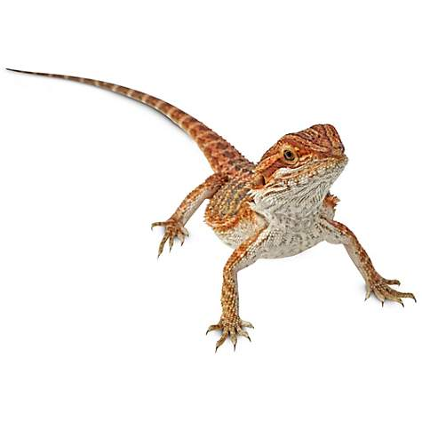 Bearded Dragons for Sale | Buy Live Bearded Dragons for