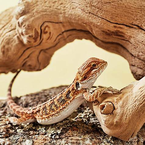 Bearded Dragons for Sale | Buy Live Bearded Dragons for Sale | Petco