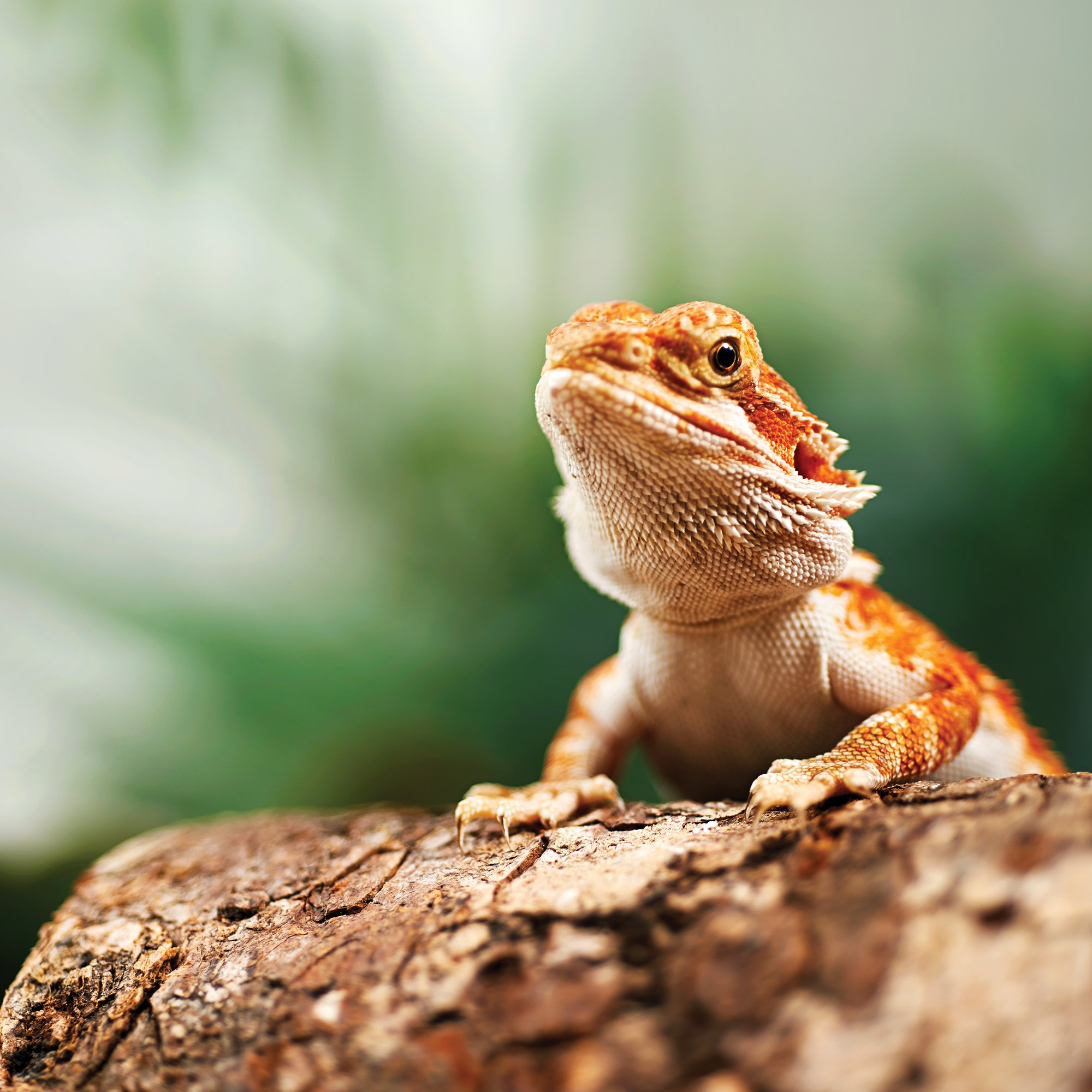 Bearded dragons for sale buy live bearded dragons for for Petco fish sale
