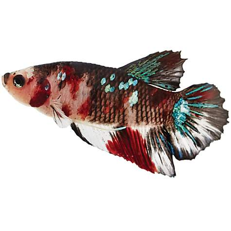 Koi betta petco for Koi fish cost