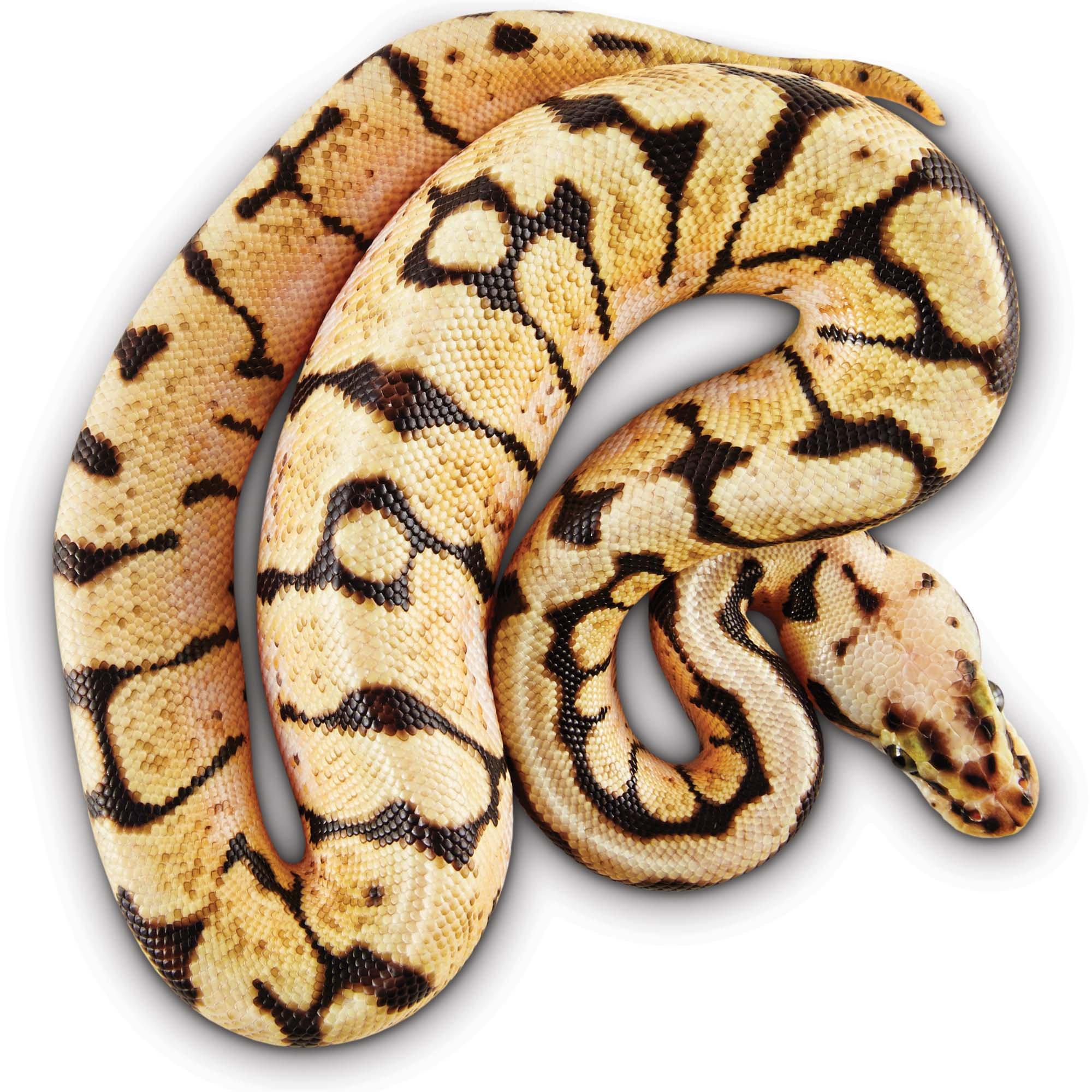 Ball Python | Petco