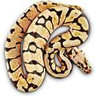 Snakes for Sale | Live Pet Snakes for Sale | Petco
