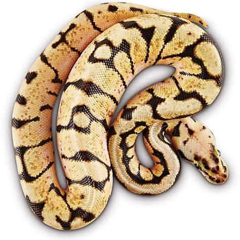 Ball Python (Python regius) | Petco