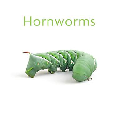 Timberline Hornworms Cup