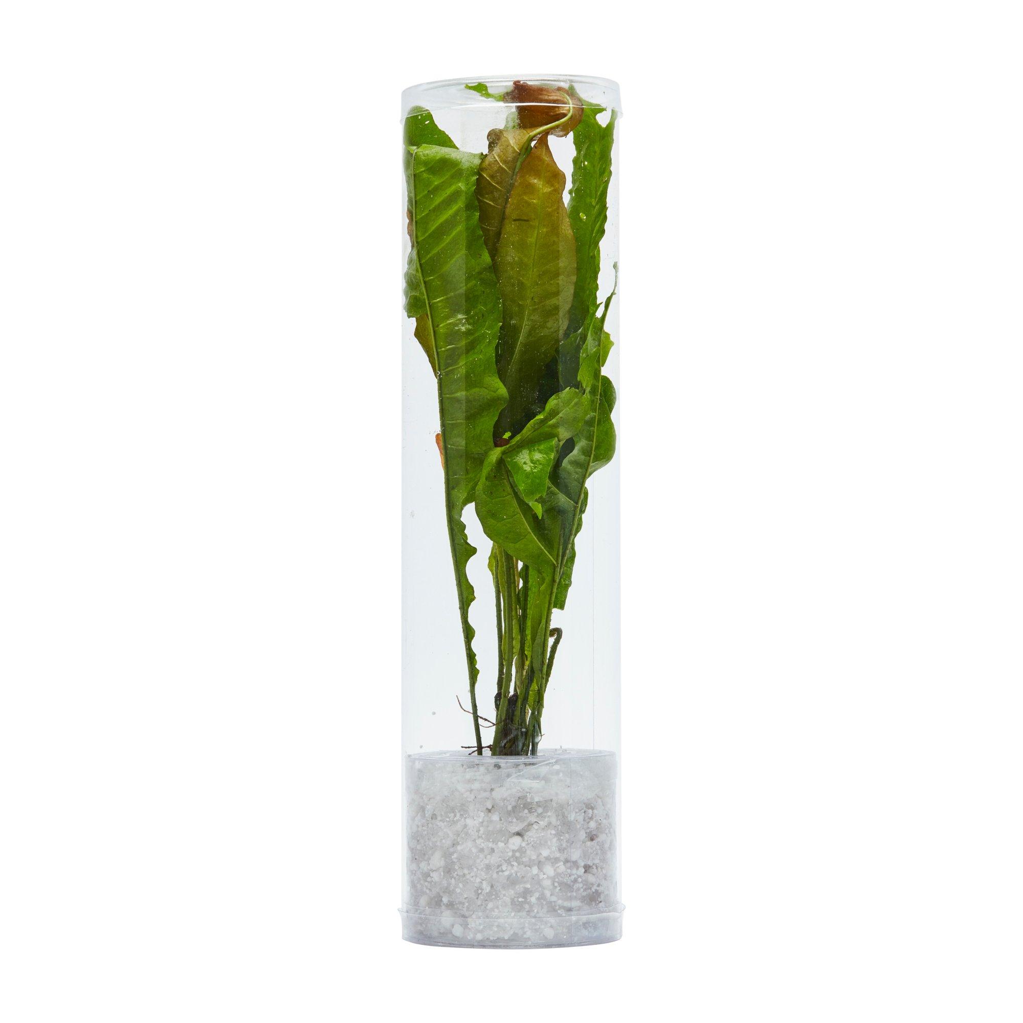 petco anubias betta aquarium plant petco