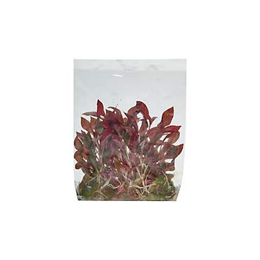 Alternanthera reineckii - Tissue Culture Aquarium Plant
