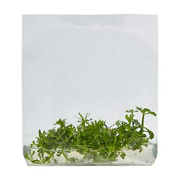 Pogostemon helferi - Tissue Culture Aquarium Plant