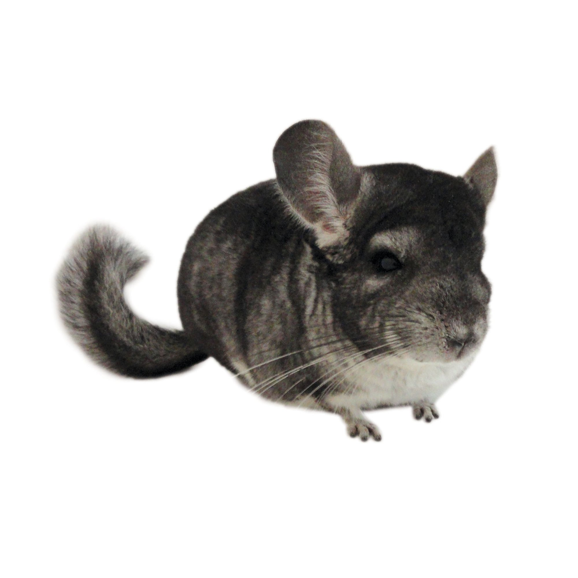 chinchillas petco