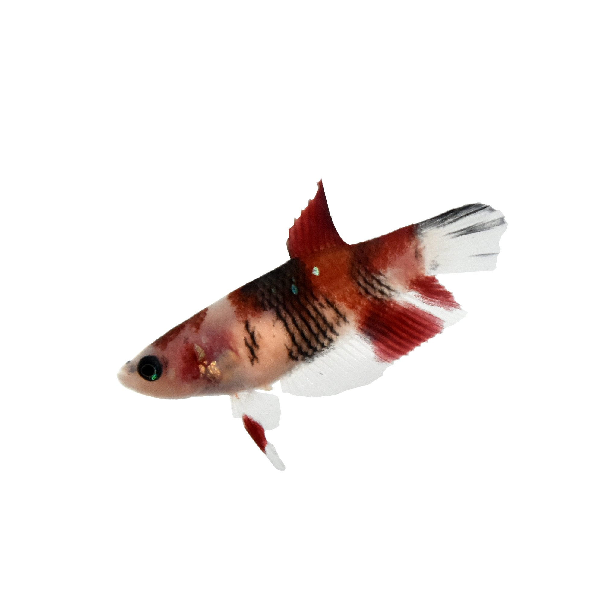 Female koi betta petco for Petco betta fish price