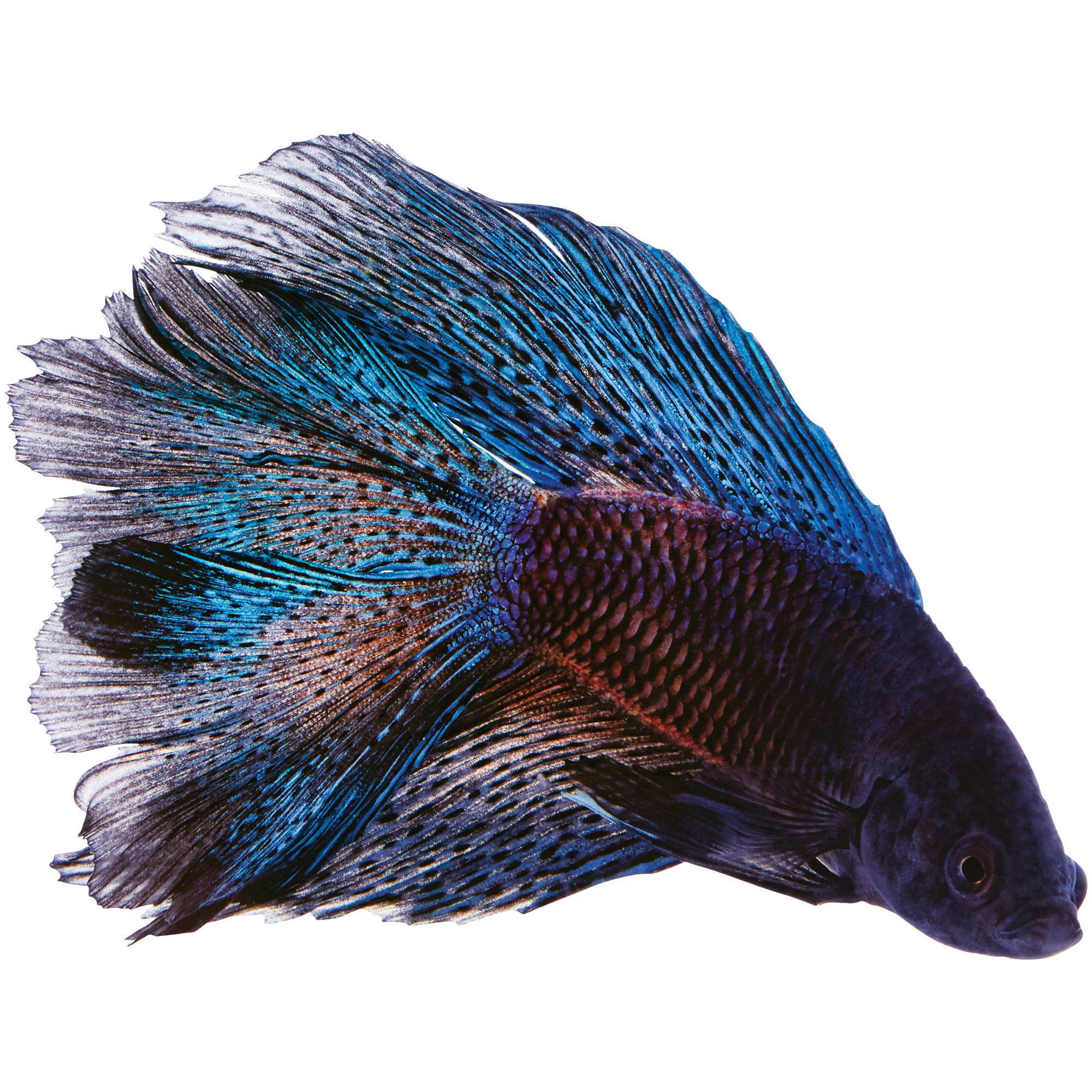 Black orchid betta petco for Betta fish tanks petco