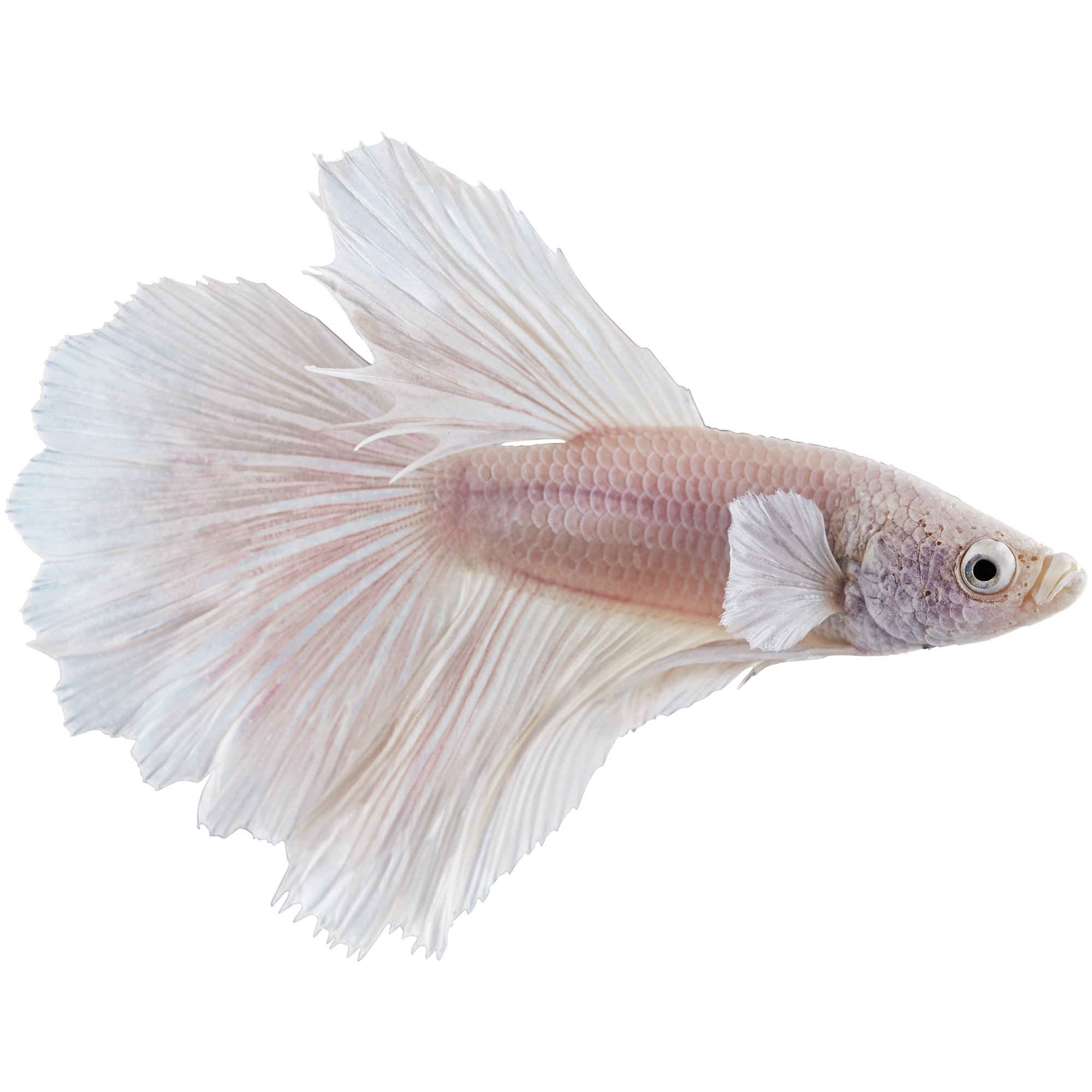 White opal betta petco for Betta fish petco