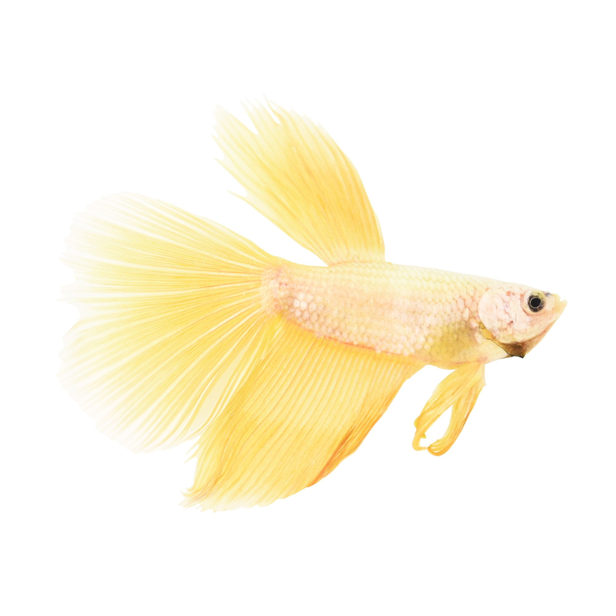 Rose gold betta petco for How much are fish at petco