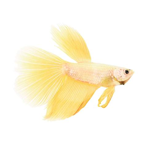 Rose gold betta petco for Types of betta fish petco