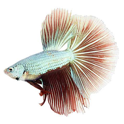 Dragonscale betta petco for Types of betta fish petco