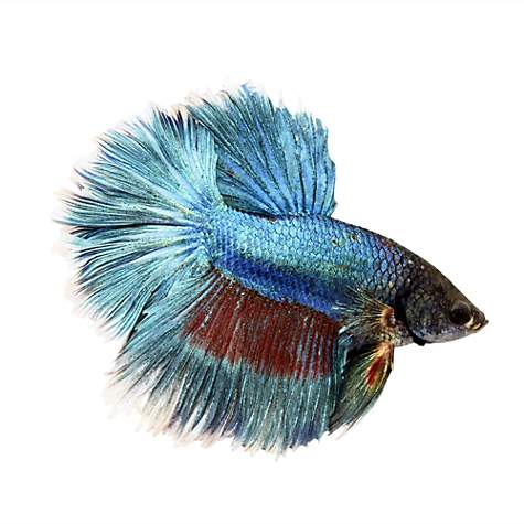 Rose petal betta petco for Types of betta fish petco