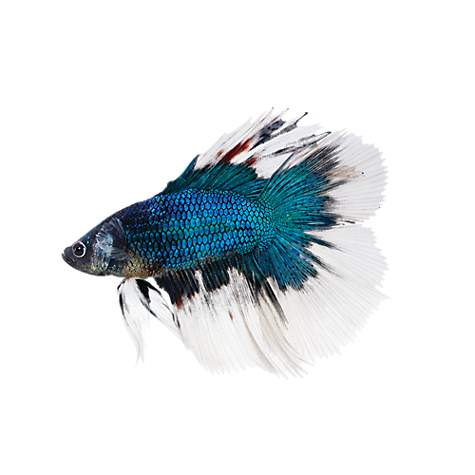 Butterfly betta betta splendens petco for Types of betta fish petco